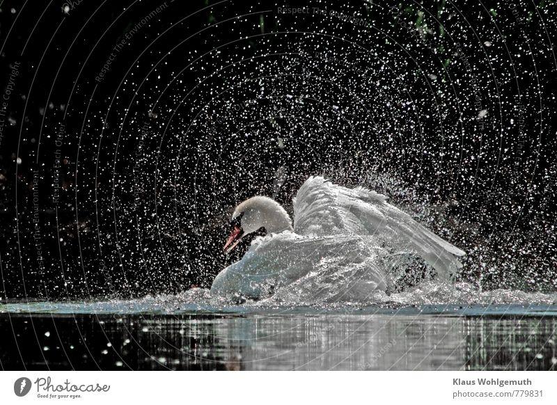 Daddy's bath day Elegant Environment Nature Animal Water Drops of water Sunlight Spring Summer Beautiful weather Pond Wild animal Bird Wing Swan Mute swan 1