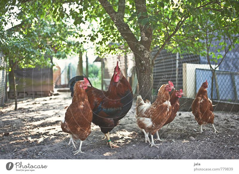 chicken out Environment Nature Plant Tree Garden Animal Farm animal Rooster Gamefowl Group of animals Animal family Natural Chicken coop Colour photo