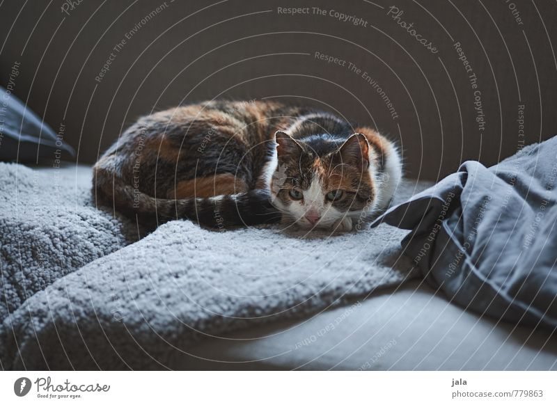 softer Living or residing Flat (apartment) Sofa Living room Cushion Animal Pet Cat 1 Relaxation Lie Esthetic Natural Colour photo Interior shot Deserted
