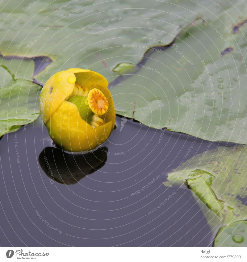 pond bumble... Environment Nature Plant Summer Rain Flower Leaf Water lily Water lily pond Aquatic plant Pond Blossoming Swimming & Bathing Growth Esthetic