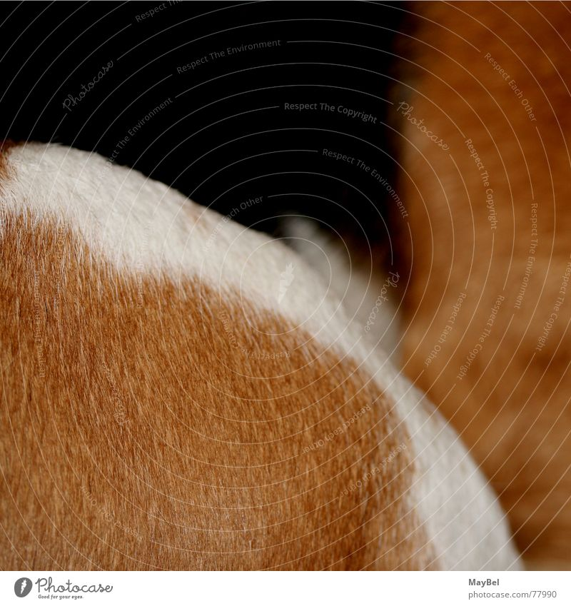 Beagle ² Dog Pelt Brown White Black Square Detail Hair and hairstyles friend Partially visible