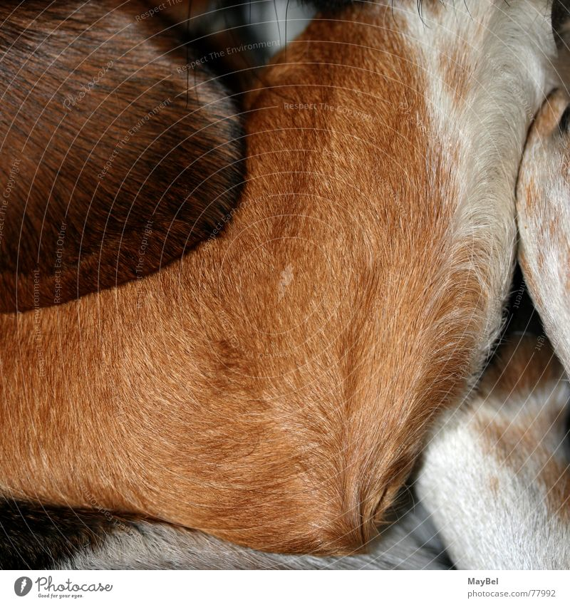 White Black Hair and hairstyles Dog Legs Feet Brown Ear Pelt Square Paw Partially visible Whisker Beagle