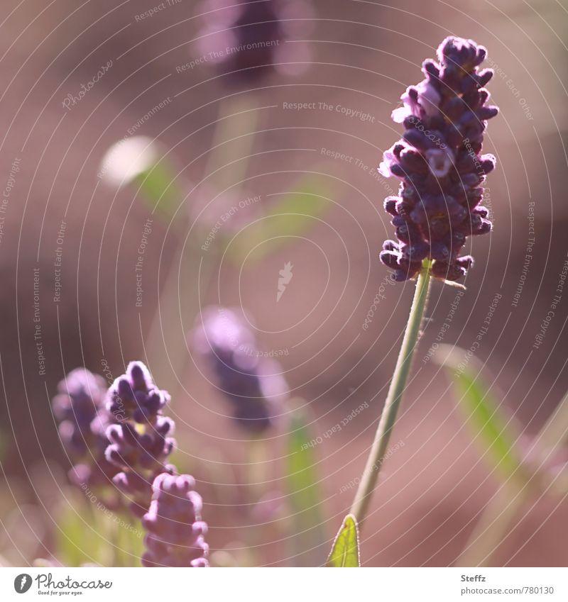 Morning scent of lavender flower lavender blossom Lavender lavender scent flowering lavender Fragrance Mood lighting beautiful light June July Flare