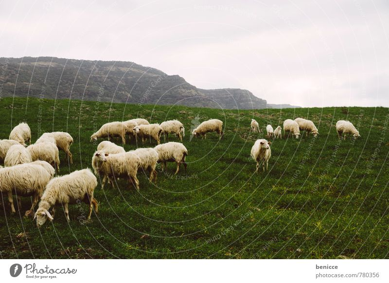 sheep Sheep Flock Herd Italy Sardinia Winter Autumn Grass Meadow Nature Exterior shot Pasture Europe Animal Wool