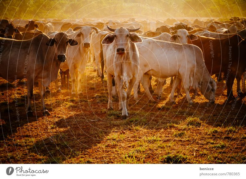 cattle Australia Cow Farm Cattle Exterior shot bush Western Australia Tree Day Sun Sunbeam Back-light Many Meat Looking