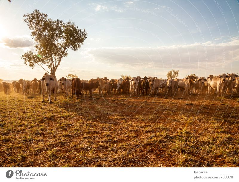 cattle Australia Cow Farm Large-scale holdings Cattle Exterior shot bush Western Australia Tree Day Sun Sunbeam Back-light Many Meat