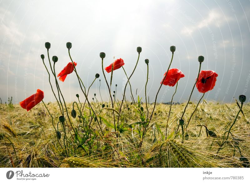 poppy Agriculture Forestry Environment Nature Landscape Plant Sky Horizon Spring Summer Beautiful weather Flower Blossom Agricultural crop Wild plant