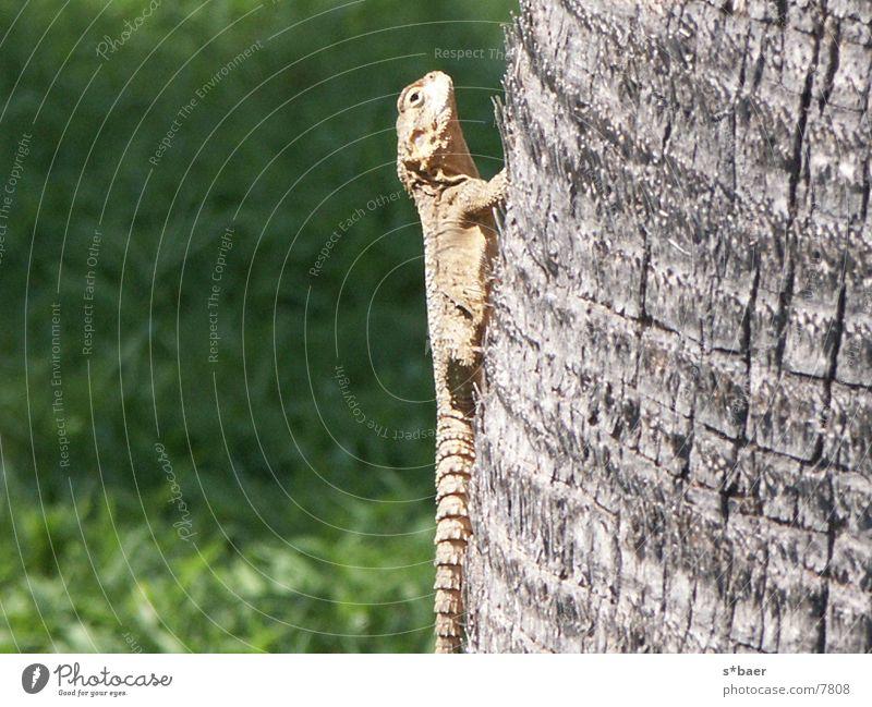 Gekko Lizards