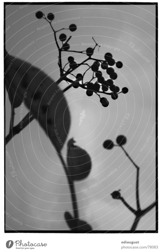 o. T. Elder Autumn Light Gray Plant Blossom Leaf Black & white photo