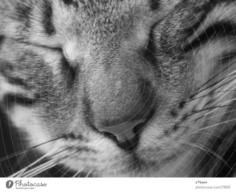 sleeping cat close-up Cat Sleep