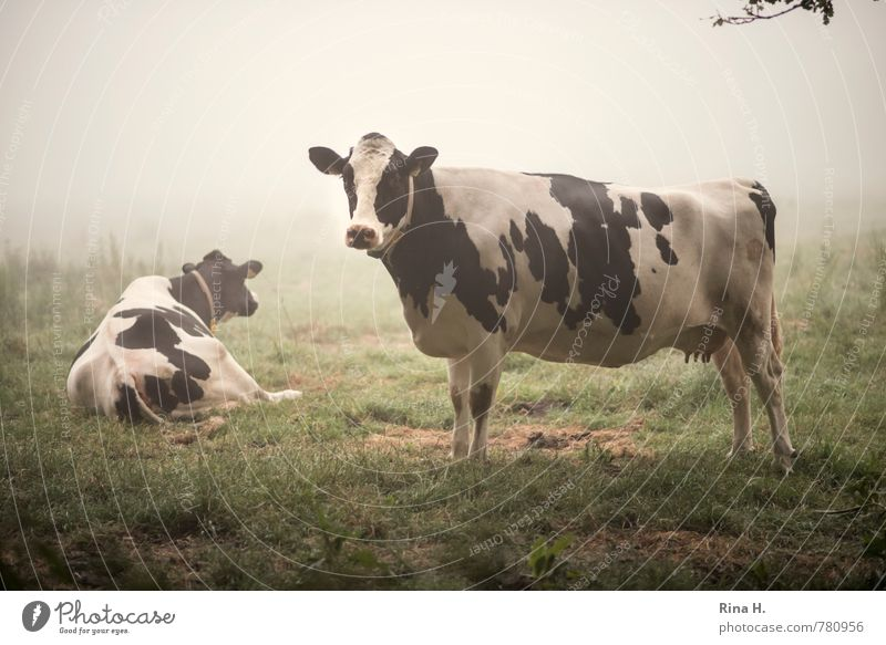 Sleepless II Summer Fog Grass Meadow Farm animal Cow 2 Animal Observe Lie Stand Authentic Calm Country life Looking away Colour photo Exterior shot Deserted