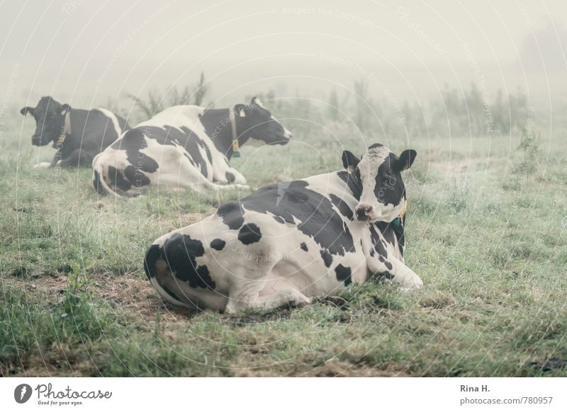 sleepless Landscape Summer Fog Meadow Farm animal Cow 3 Animal Lie Rest Morning Country life Colour photo Exterior shot Deserted Dawn Shallow depth of field