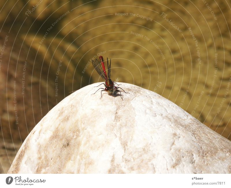 Dragonfly on stone Pond Insect Stone