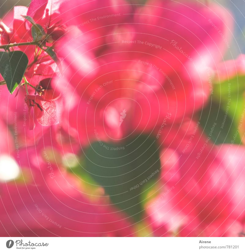 flower glut Plant Summer Bushes Blossom Exotic Bougainvillea Garden Blossoming Many Pink Willpower Lack of inhibition Colour Growth Lush Surplus quantity mass