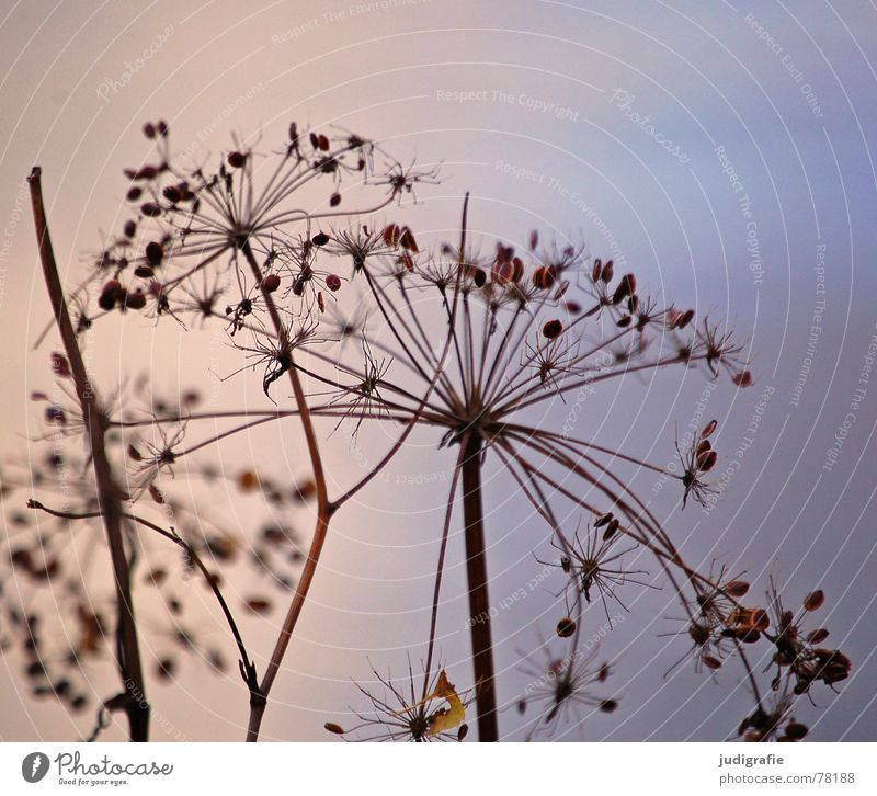 Autumn Plant Dry Dill Thorny Pond Reflection Umbellifer Death Part of the plant Limp Wild plant End Environment Botany Natural phenomenon Lake Dried Wild animal