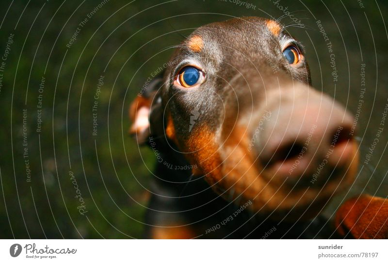 Eyes Animal Dog Brown Loyalty Doberman