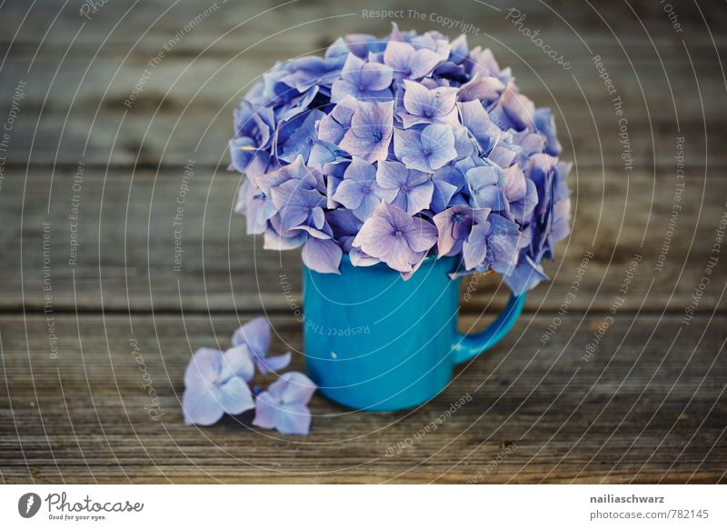 hydrangeas Cup Mug Style Garden Table Flower Blossom Wood Old Blossoming Fragrance Beautiful Natural Retro Blue Brown Violet Spring fever Romance Hydrangea