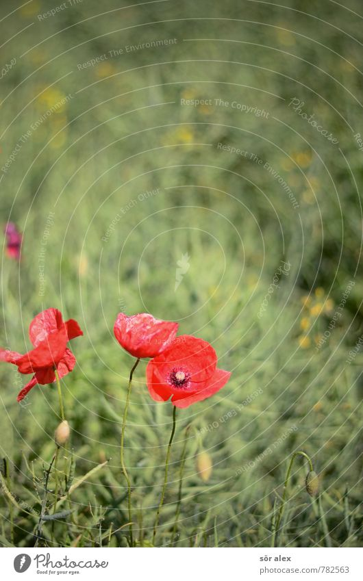 poppy Environment Nature Plant Flower Blossom Poppy blossom Poppy capsule Poppy field Green Red Caution Serene Patient Calm Relaxation Sustainability