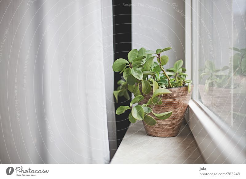 windowsill Living or residing Flat (apartment) Drape Plant Foliage plant Pot plant Houseplant Window Window board Esthetic Natural Colour photo Interior shot