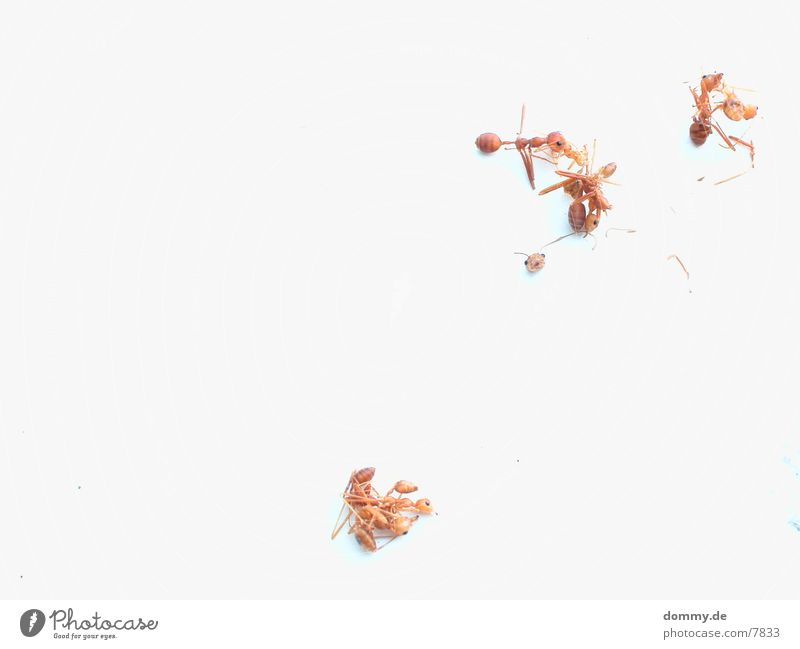 Ant War Death kaz