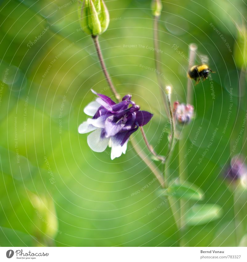 departure Garden Animal Bumble bee 1 Bright Yellow Green Violet Wire netting fence Insect Flower Summery Blossom Growth Life Seasons Motion blur Flying Wing