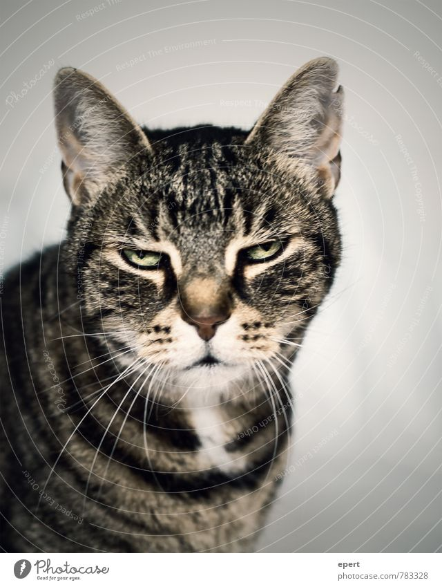 Cat Animal Funny Moody Serene Fatigue Pet Boredom Hung-over Reluctance Indifferent