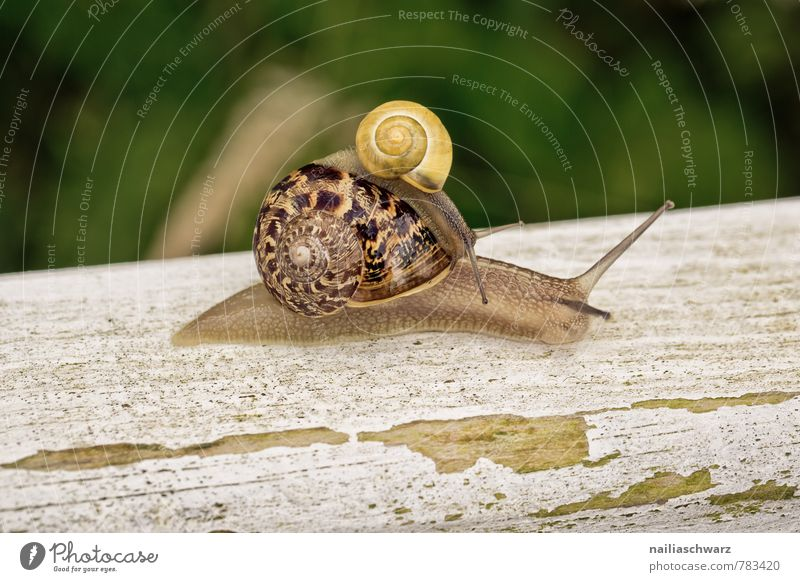 Two snails Garden Nature Animal Grass 2 Animal family Old Driving Crawl Large Small Slimy Speed Green Friendship Together Comfortable Attachment helicidae