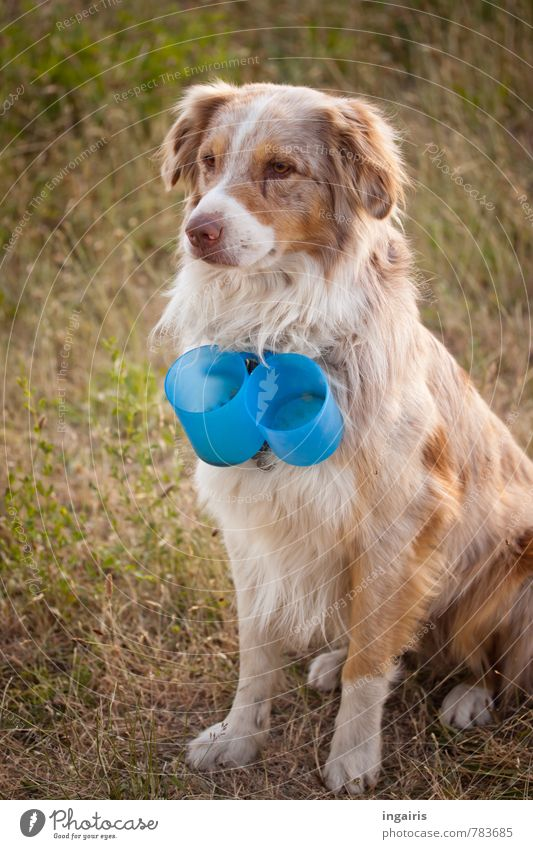 Coffee cup delivery service Meadow Animal Pet Farm animal Dog Australian Shepherd Tame 1 Coffee mug Observe Crouch Looking Exceptional Friendliness Cuddly Blue