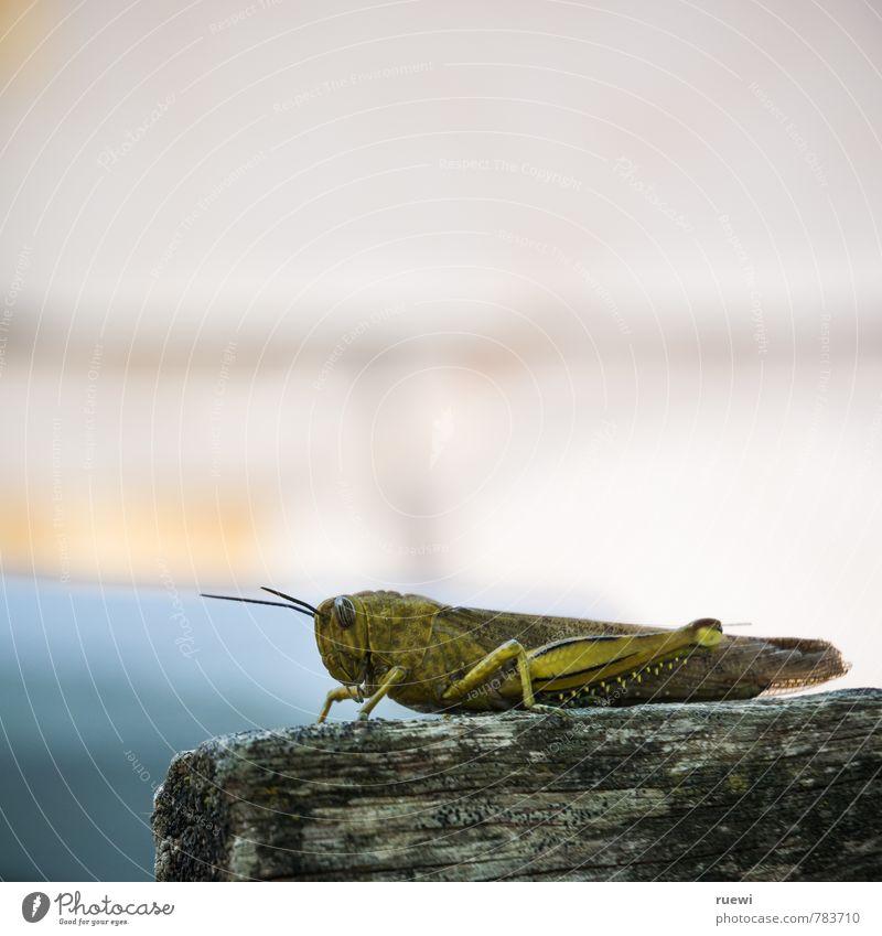 Hüüüü-hoop. Vacation & Travel Trip Adventure Summer Summer vacation Animal Spring Autumn Insect Locust giant locust 1 Wood Observe Sit Wait Disgust Large Creepy
