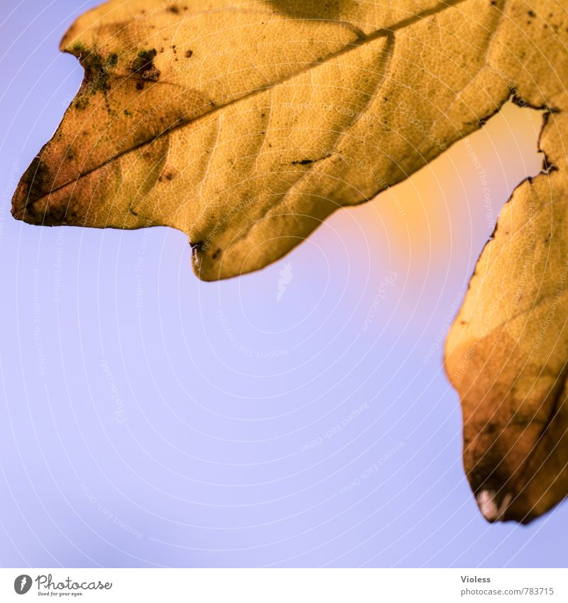 Nature Old Plant Leaf Yellow Autumn Brown Gold To fall Autumnal Limp Oak leaf