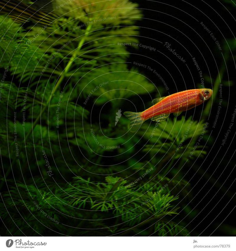 Water Green Red Black Fish Aquarium Aquatic plant