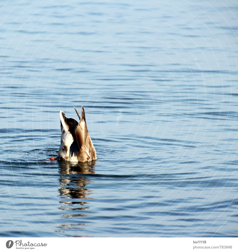 dive Animal Baltic Sea Wild animal Duck 1 Movement Eating Catch Hunting Dive Elegant Success Beautiful Wet Natural Cute Athletic Under Blue Brown Gray Orange