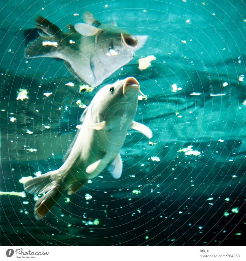 fish soup Nutrition Water Pond Animal Wild animal Fish Aquarium Carp 1 Feeding Looking Swimming & Bathing Dive Dirty Disgust Blue Turquoise Gluttony Voracious