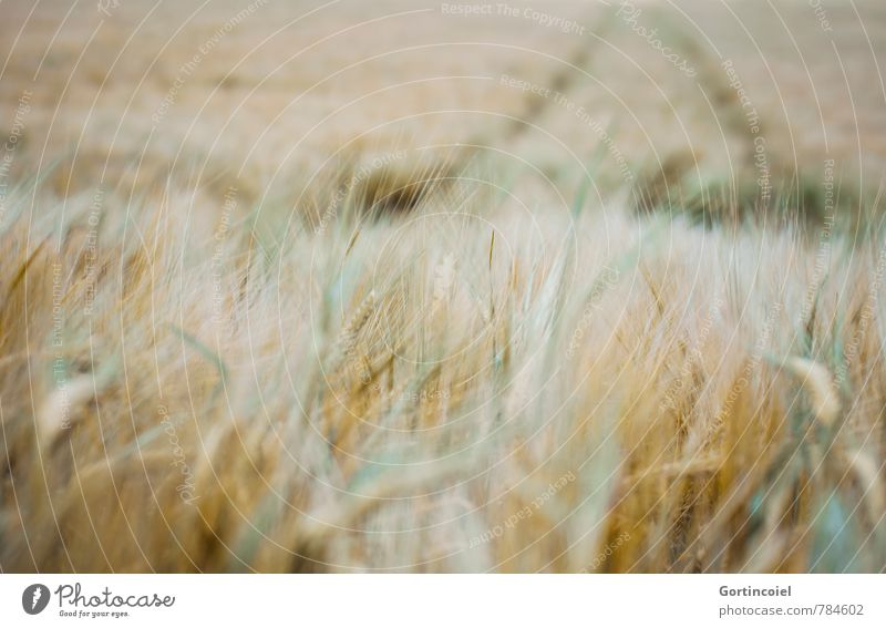 field study Nature Landscape Summer Agricultural crop Field Yellow Gold Green Agriculture Grain field Cornfield Ear of corn Colour photo Exterior shot Deserted