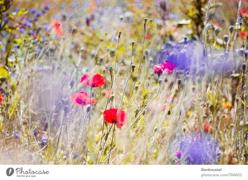 Summer Haze Environment Nature Landscape Plant Beautiful weather Flower Field Warmth Blue Yellow Red Cornflower Poppy Corn poppy Summerflower Summery
