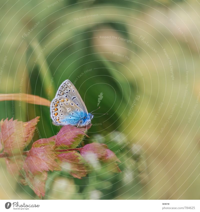 So blue Nature Animal Meadow Field Butterfly 1 Flying Elegant Beautiful Wild Blue Polyommatinae Common blue Insect animals insects Colour photo Exterior shot