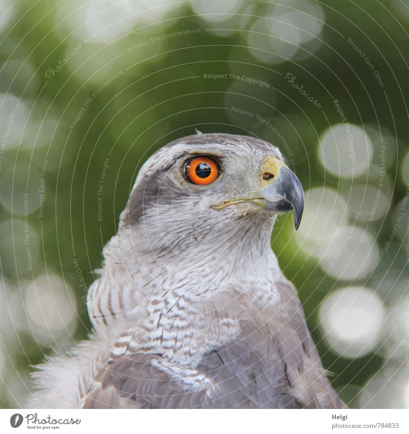 robber Nature Animal Wild animal Bird Animal face Head Beak Feather Eyes Goshawk 1 Observe Looking Esthetic Beautiful Natural Brown Gray Green Self-confident