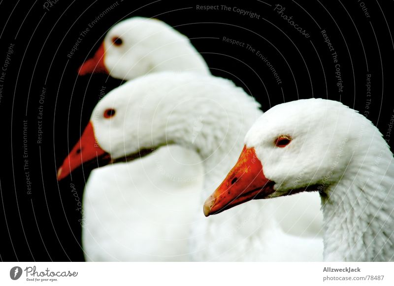 The three-headed Hydra Goose Beak Farm animal Bird 'flu Black Animal Poultry christmas feast christmas dinner Nutrition Black & white photo festival of love