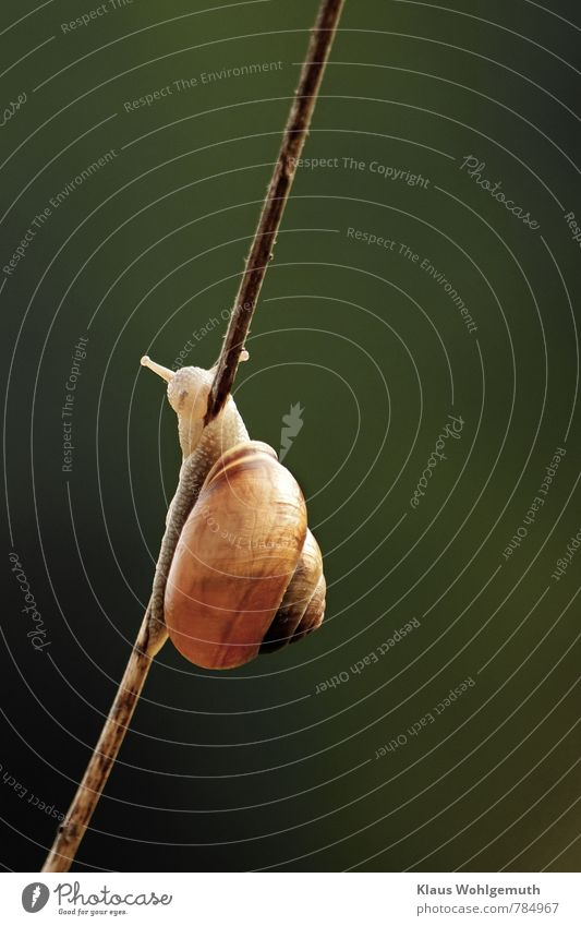 slimmer Plant Grass Stalk Garden Park Meadow Field Forest Animal Wild animal Snail 1 Brown Green Slimy creep Colour photo Exterior shot Close-up Deserted