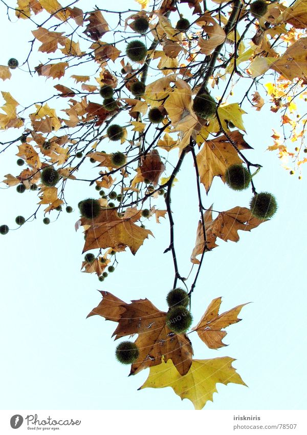 autumn curls Nature Leaf Snapshot Autumn Canopy Tree Cold Dry Calm Transience Seasons Early fall Chestnut tree Gold To fall Branch Sky Freedom Twig
