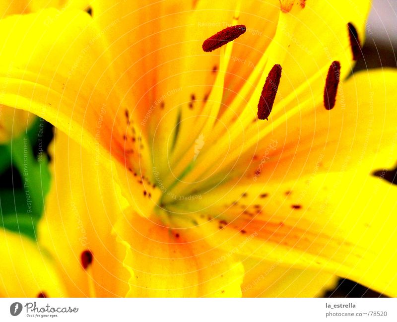 blossom Elated Colour scheme Life Really Resume Pistil Slick Blossom Lily Flower Yellow Red Beautiful Friendliness Multicoloured Summerflower Purple Yolk