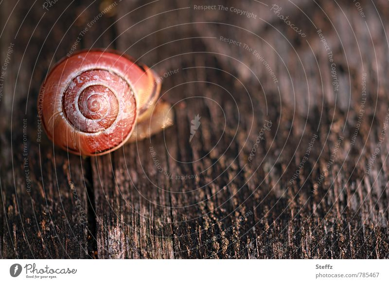 Snail on a dark and weathered wooden board Crumpet Wooden board Snail shell Spiral Slowly Texture of wood symmetric Symmetry Woody Creeping snail sluggishness