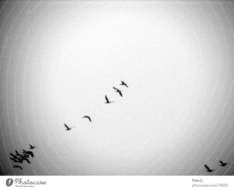 migratory birds Goose Wild bird Migratory bird Wild goose Formation Animal Bird Winter South Aviation Flight of the birds Flock Direction Vacation & Travel