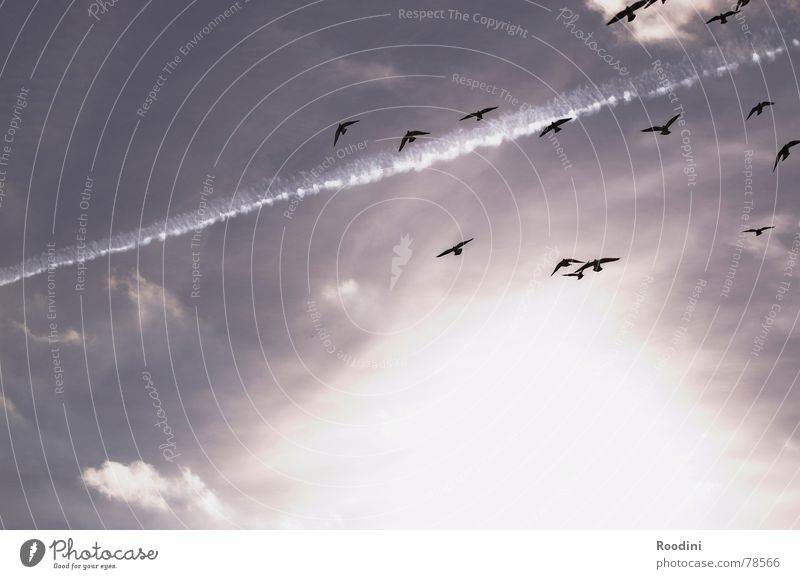 en plein air Together Clouds Summer Autumn Bird Migratory bird Hover Stripe Vapor trail Light Heavenly Sky Sun Flying Free Freedom Multiple Aviation Life