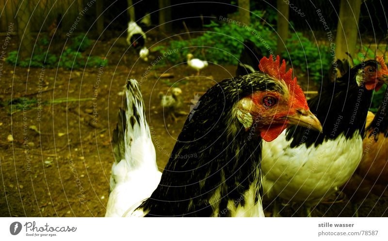 Bird Egg Barn fowl Barn Rooster Comb Animal Free-roaming Bird 'flu