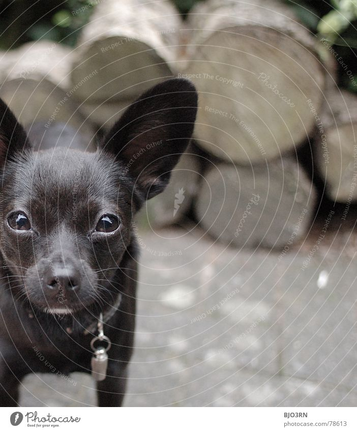 Black Eyes Animal Wood Gray Dog Stone Small Brown Large Floor covering Might Ear Square Pet Mammal