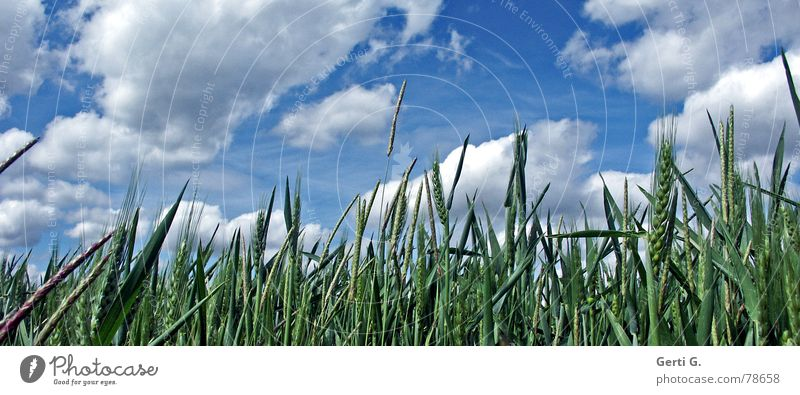 fresh°happy°free Fresh Happiness Far-off places Damp Find Cornfield Clouds Sky blue White Altocumulus floccus Ear of corn Grass Field Barley Rye Straw Oats