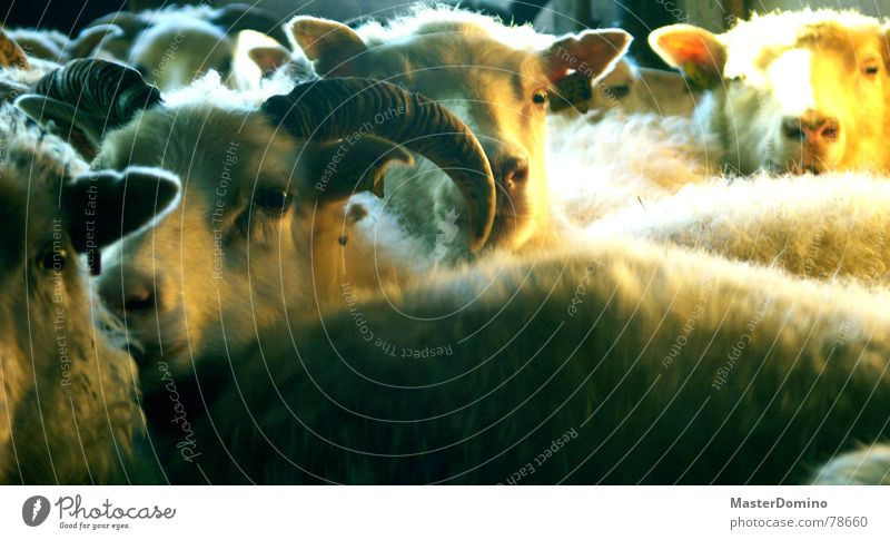 Eyes Animal Ear Farm Americas Sheep Antlers Mammal Snout Rural Wool