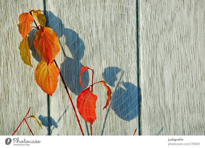 shade plant Plant Autumn Leaf Wood Wall (building) Growth Part of the plant Botany Darken Green Derelict Shadow Blue Nature Orange Wooden board Bright