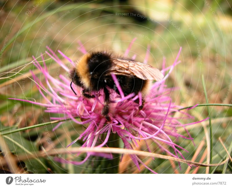 Nature Flower Black Yellow Pink Bee Diligent